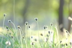 In selective focus of a small wild grass flower in a spring time with soft light style. Reed background backdrop royalty free stock photography
