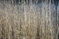 Reed background Stock Photography