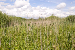 Reed background. A green reed field with a beautiful sky royalty free stock photo