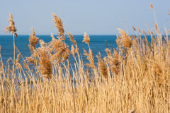 Reed on background of the sea Royalty Free Stock Photo