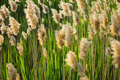 Reed in backlight Stock Photos