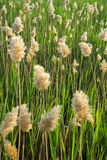 Reed in backlight Royalty Free Stock Photos