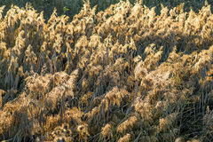 Reed in backlight Royalty Free Stock Photo