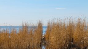 Reed at the baltic sea. Of Bornholm - Denmark Stock Images