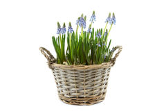 Reed basket with blue grape hyacinths Royalty Free Stock Photo