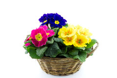 Reed basket with multicolor primroses Royalty Free Stock Photography