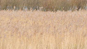 Reed Bed Imagens de Stock Royalty Free