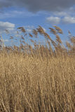 Reed bed background Stock Image