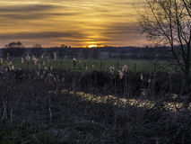 Reed Bed backlit at Sunset Stock Photography