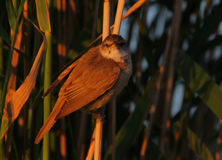 Reed-bed bird resting. In morning light Stock Image