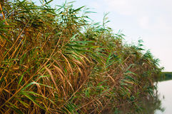 Reed bed on Danube Delta Royalty Free Stock Photography