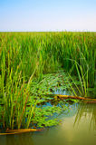 Reed bed on Danube Delta Royalty Free Stock Images