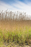 Reed bed in devon. The common or water reed (Phragmites australis) a broad-leafed grass with feathery flower clusters Royalty Free Stock Photography