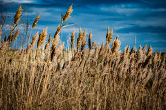 Reed bed in dramatic light Royalty Free Stock Photo