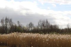 Reed Bed durch Middleton Lakes lizenzfreie stockfotografie