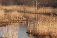 Reed Bed på floden Arkivfoto