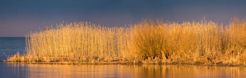 Reed bed panorama Stock Photo