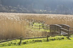 Reed Bed Royalty Free Stock Photography