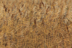 Reed Bed Royalty Free Stock Image