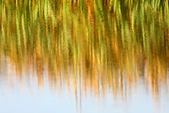 Reed bed reflection Stock Photos