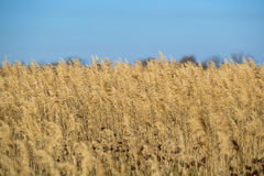 Reed bed Stock Photo