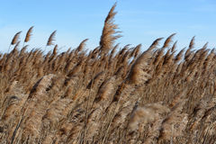 Reed bed Stock Images