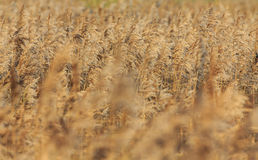 Reed Bed Royalty Free Stock Photos