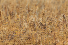 Reed Bed Royalty Free Stock Photo