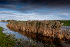 Reed bed in water channel Royalty Free Stock Photo