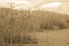 Reed beds at the Baltic Sea.Toned with sepia filter. Reed beds at the Baltic Sea. Estonia.Toned with sepia filter Stock Images