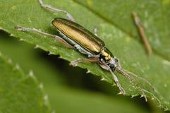Reed Beetle. Donacia simplex Metallic beetle of Wetlands Stock Image