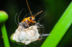 Reed beetle Stock Photo