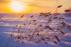 Reed bei Sonnenuntergang Stockbilder