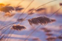 Reed bei Sonnenuntergang Stockfotos