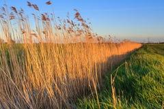 Reed beleuchtete durch nea Sonne des späten Abends einen Abzugsgraben Lizenzfreie Stockfotografie