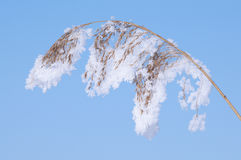 Reed bending under snow. Reed stem bending under the weight of a snow load Stock Images