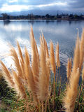 Reed blooming. Blooming reeds at the lake shore. Sun mixing with clouds gives a good lighting Stock Photo