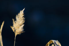 Reed on blue blurred background, river lake pond. The picture on the theme of nature and vegetation Stock Photos