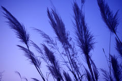 Reed in the blue dusk. Reed in the setting sun at dusk Stock Photography