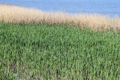 Reed and blue river. Nature landscape background Stock Photography