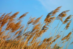 Reed in the blue sky. Reed in the windy, blue sky Stock Photos