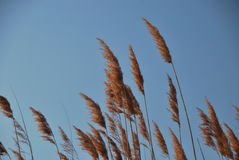 Reed with blue sky Royalty Free Stock Photography