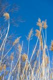 Reed with Blue Sky Royalty Free Stock Photos