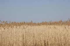 Reed and blue sky. Background Stock Images