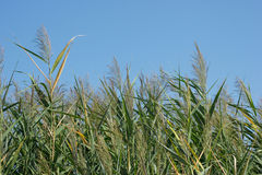 Reed and blue sky. Background, nature landscape Stock Photography