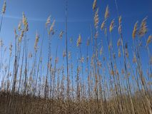 Reed with blue sky. Reed field against beautiful clear blue sky on a sunny winter day stock photo