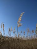 Reed with blue sky stock photos