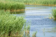 Reed in blue water stock photos