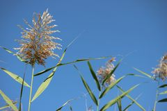 Reed in Bosten Lake Stock Photo