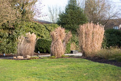 Reed bound together in the garden in winter Stock Photography